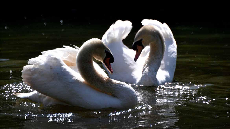 cisnes-1170x658