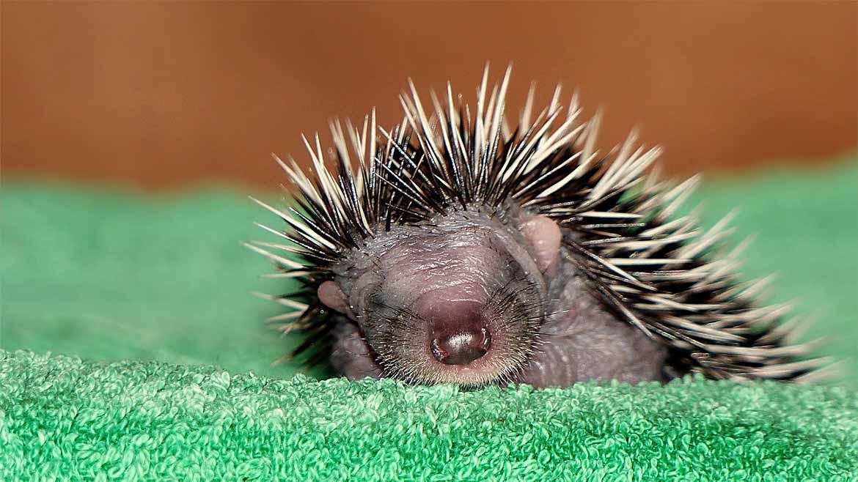 hedgehog-1180x658