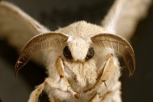 csiro_scienceimage_10746_an_adult_silkworm_moth