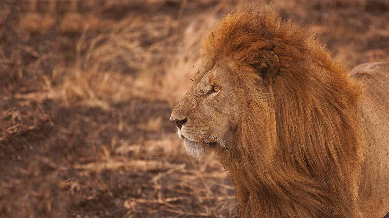 lion-1170x650