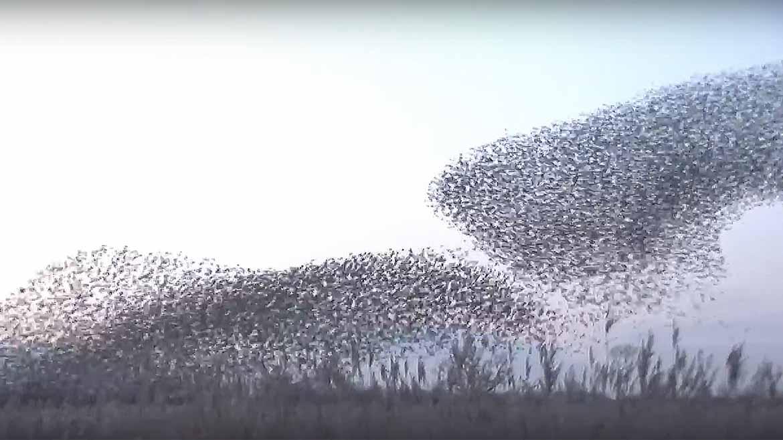 Starlings-1170x658