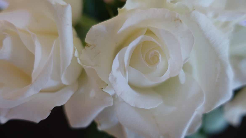 white-rose-1170x658