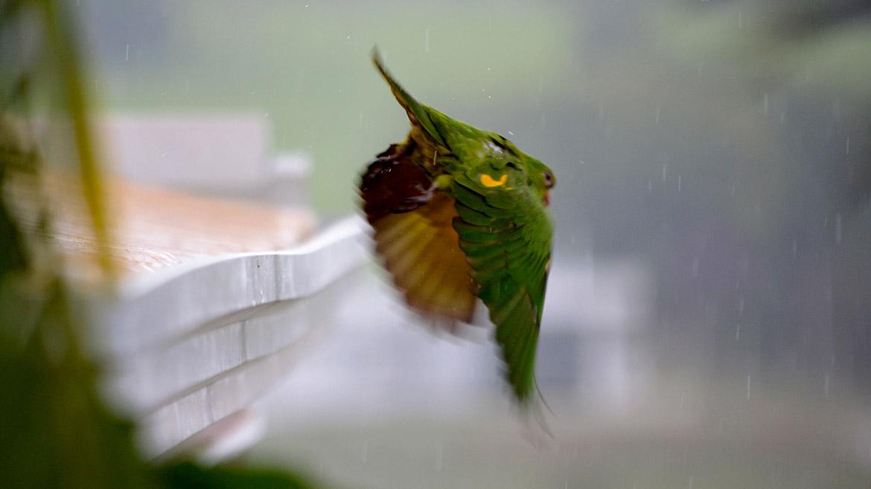 Papagaio Voando 2-b